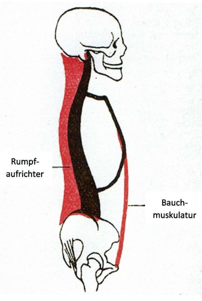 Wunderbar Nacken Und Rückenmuskulatur Galerie - Anatomie und ...